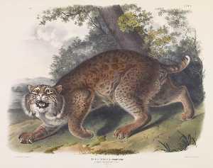 Lynx rufus, Common American Wild Cat - John James Audubon