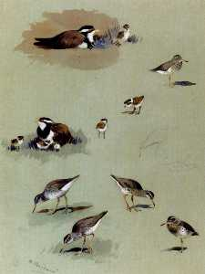 Study Of Sandpipers, Cream-Coloured Coursers And Other Birds