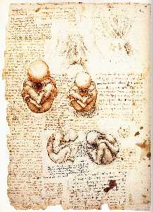 Drawing of the uterus of a pregnant cow