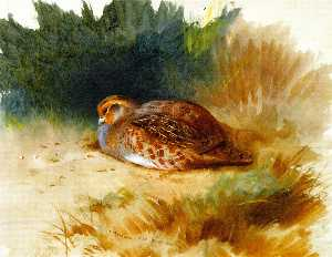 A Young Partridge