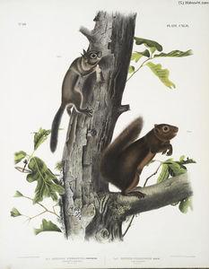 1. Sciurus Fremonsii, Fremont's Squirrel. Natural size; 2. Sciurus fuliginosus, Sooty Squirrel. Natural size