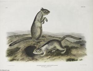 Spermophilus Douglassii, Douglasse's Spermophile. Natural size