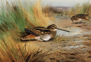 A Pair Of Snipe
