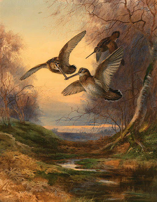 Wikioo.org - The Encyclopedia of Fine Arts - Painting, Artwork by Archibald Thorburn - Woodcock Roding At Sunset