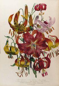 The Ladies' Flower Garden - (15)