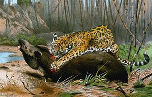 Jaguar Killing Tapir