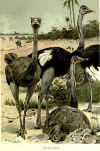 Ostriches Struthio Camelus