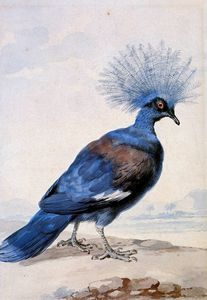 Crowned pigeon Sun