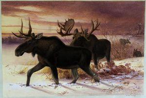 Elk, family cervidae