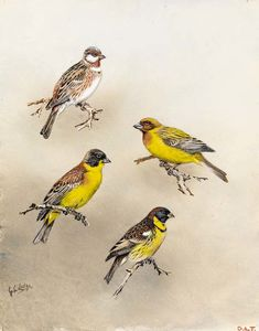 Pine bunting and black headed bunting