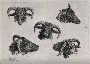 A ram's head