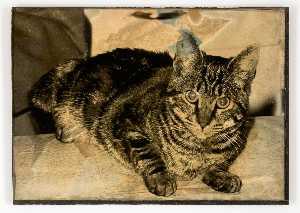 Untitled (tabby cat lying down)