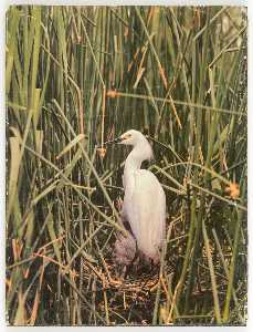 Untitled (egret in nest with young)