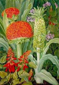 Haemanthus and Other South African Flowers
