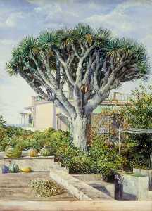 Dragon Tree at Orotava, Teneriffe