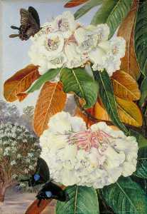 Rhododendron Falconeri from the Mountains of North India
