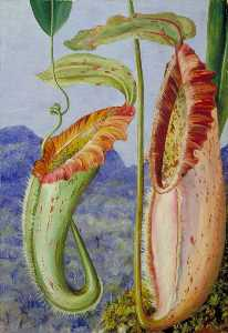 A New Pitcher Plant from the Limestone Mountains of Sarawak, Borneo