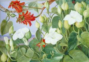 White Convolvulus and Kaffirboom, Painted at Durban, Natal