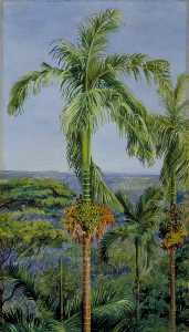 Areca or Betel Nut Palm, Singapore