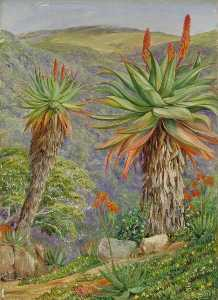 Tree Aloes and Mesembryanthemums above Van Staaden's Kloof, South Africa