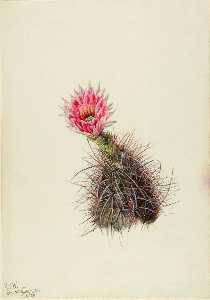 Cucumber Cactus
