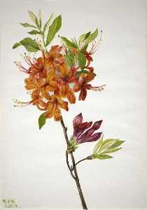 Flame Azalea (Rhododendron speciosum)