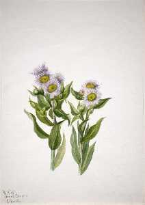 Fleabane (Erigeron macranthus)