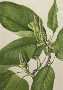 Cucumbertree (Magnolia acuminata)