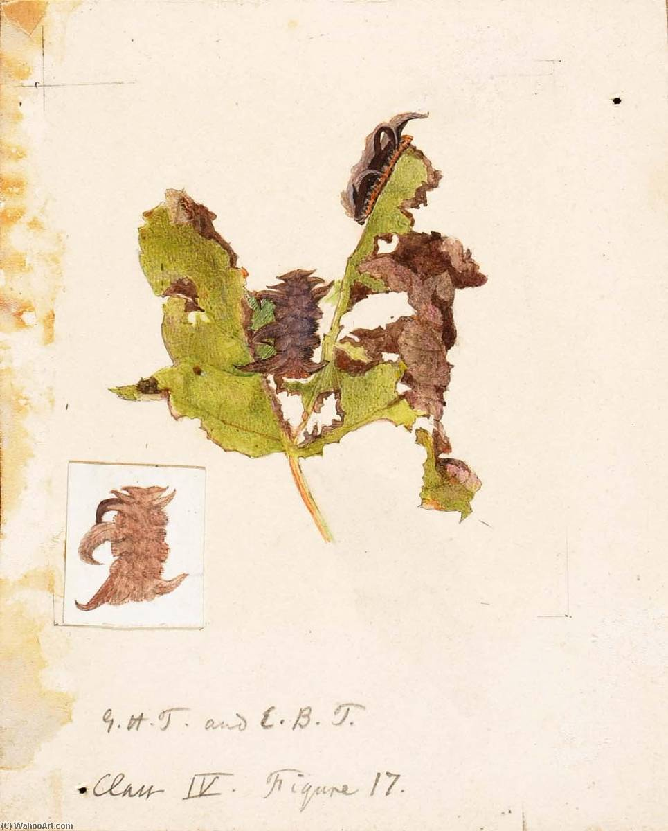 Wikioo.org - The Encyclopedia of Fine Arts - Painting, Artwork by Emma Beach Thayer - Crumpled Leaf Caterpillar, study for book Concealing Coloration in the Animal Kingdom