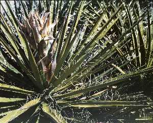 Untitled Flowering Yucca, from the series Marks on the Landscape