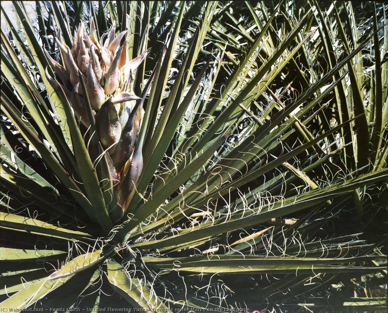 Wikioo.org - The Encyclopedia of Fine Arts - Painting, Artwork by Kenda North - Untitled Flowering Yucca, from the series Marks on the Landscape