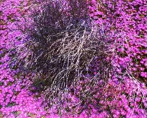 Untitled Purple Flowers, from the series Marks on the Landscape